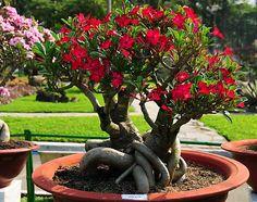 Адениум, или чарующая пустынная роза