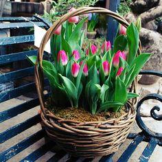 Выгонка тюльпанов  Несмотря на то, что свежие тюльпаны можно купить в любом цветочном киоске, цветоводы не могут отказать себе в удовольствии выгонять тюльпаны в домашних условиях. Выгонка тюльпанов — непростой и кропотливый процесс, ведь он требует создания определенных температурных условий, а также наличия дополнительных источников света. Но настоящие ценители тюльпанов считают, что все усилия не пропадают даром, ведь в домашних условиях можно выгнать любые сорта, которые не так просто…