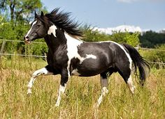 paint horse - Pesquisa Google American Paint Horse, Paint Horses, Colorful, Google Search, Life, Animals, Painting, Beautiful, Horses
