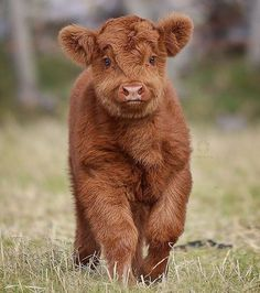 """Animals (@natureroyalty) on Instagram: """"Highland Cattle calf ❤️ 