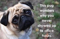 This pug wonders why you never showed up to office hours :(