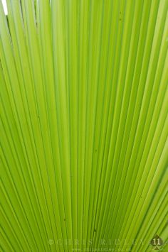 Washingtonia filifera leaf detail - License Botanical Images & Stock Photography  from http://archive.chrisridley.co.uk - This image is Copyright Chris Ridley.