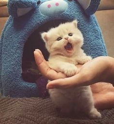 A reson to smile every day. pictures gifs and videos of Cats, lolcats, kittens, and cute animals. Kittens And Puppies, Cute Cats And Kittens, Baby Cats, I Love Cats, Kittens Cutest, Kitty Cats, Baby Kitty, Ragdoll Kittens, Sleepy Kitty