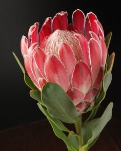 Exotic flowers – Home Decor Gardening Flowers Tropical Flowers, Exotic Flowers, Amazing Flowers, Red Flowers, Beautiful Flowers, Protea Art, Protea Flower, Art Floral, Australian Native Flowers
