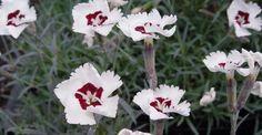 Dianthus gratianopolitanus 'Starry Eyes' op vasteplant.be bij deze kweker gekocht in beervelde 2011 staat naast oprit bloeit mei-juli 15 cm hoog