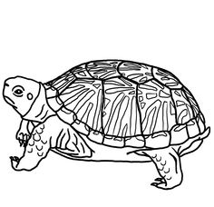 Box Turtle Coloring Page coloring book entry for the Eastern Box