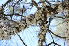 Marchalina hellenica