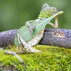 Appearing to strum a leaf like a guitar, the lizard, caught in the photo by photographer Aditya Permana in Yogyakarta, Indonesia, is quickly becoming an Internet sensation.