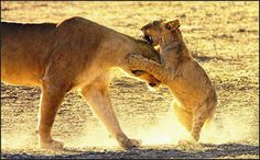 Play time - Kgalagadi. Nature Scenes, Lens, Africa, The Incredibles, Memories, Play, World, Animals, Memoirs