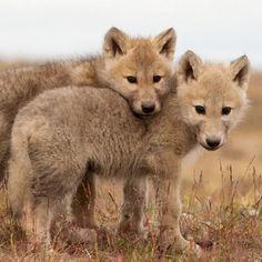 Image: wolf hashtag on Twitter