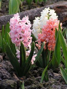 Цветок гиацинт многолетний: фото и описание, посадка, уход и выращивание гиацинтов в открытом грунте Весенние Цветы, Многолетние Растения, Красивые Цветы, Роза, Растения, Садоводство