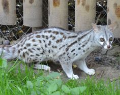 Pardine genet (Genetta pardina), also known as the forest genet and the West African large spotted genet, is a mammal from the Carnivora order that is related to linsangs and civets.