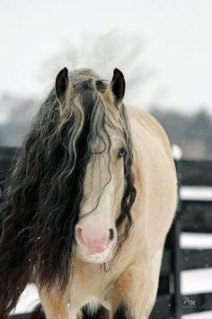 A buckskin with a curly mane and blue eyes... I'm in love!