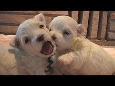 Cute Maltese Puppies! ::::: #adorable, #funny, #cute, #puppy