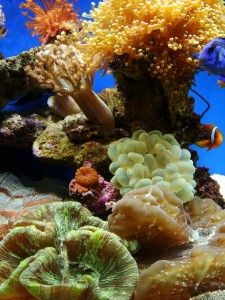 Soft corals in a saltwater aquarium