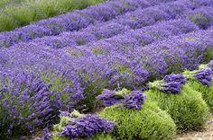 Lavendula x intermedia 'Phenomenal' - phenomenal lavender. More tolerant of humidity, heat, and cold than English lavender.