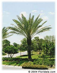 Phoenix Dactylifera, palmeira muito usada no paisagismo de Miami, Flórida, EUA.