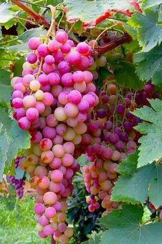 Tis the season! I love fruit! Fruit Plants, Fruit Garden, Fruit Trees, Fruit And Veg, Fruits And Vegetables, Fresh Fruit, Beautiful Fruits, Beautiful Flowers, Fruit Bearing Trees