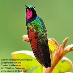 wine throated hummingbird | Trip Report: Customized Birding Tour in Guatemala (8-16 May 2009)
