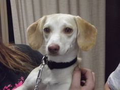 Little Girl is an adoptable Dachshund Dog in Shelbyville, IN. Little Girl is a one-and-a-half year old Dachshund/Beagle mix that was surrendered to the animal shelter yesterday during our BIG transpor...