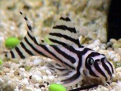 50 Best Tropical Fishes for Your Aquarium