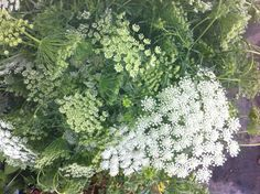 """Ammi Majus otherwise known as """"Queen Ann's Lace"""""""