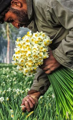 An afghan worker Picking Fresh Flowers in natural narcissus farm! Narcissus is a genus of predominantly spring perennial plants in the Amaryllidaceae family. Various common names including daffodil,...