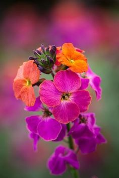 Erysimum Winter Orchid'- love the colours