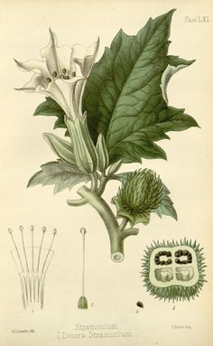 Datura stramonium. The flora homoeopathica :or, illustrations and descriptions of the medicinal plants used as homoeopathic remedies 1853 v. 2 London :Leath & Ross,1852-1853. Biodiversitylibrary. Biodivlibrary. BHL. Biodiversity Heritage Library Botanical Art, Vintage Botanical Prints, Antique Prints, Botanical Drawings, Medicinal Plants, Poisonous Plants, Flora, Historia Natural, Nature Illustration