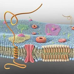 All about Plasma Membrane Ap Biology, High School Biology, Biology Lessons, Cell Biology, Molecular Biology, Science Biology, Science Education, Life Science, Science Cells