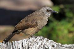 Bird Photography / Black-faced Babbler / Roy's Camp, Northern Namibia
