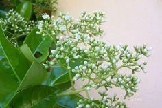 La Tabla en El Jardín: Viburnum lucidum: a punto de florecer