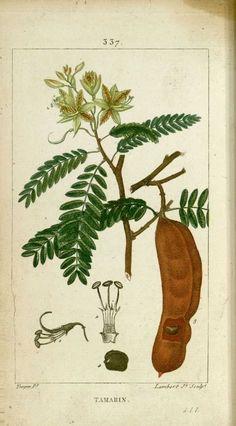 img/dessins-gravures de plantes medicinales/ramarin, tamarinier.jpg