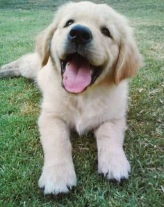 Irresistible Pictures of Baby Golden Retriever Puppies and Crazy Facts! Cute puppy pictures of golden retriever puppy smiling for the camera on the grass. Cute puppy pictures of golden retriever puppy smiling for the camera on the grass. Golden Retrievers, Dogs Golden Retriever, Retriever Puppy, Dogs Tumblr, Cute Puppy Pictures, Happy Puppy, Pet Puppy, Puppy Grooming, Dog Boarding