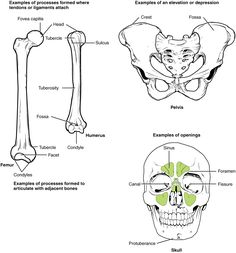 Bone Structure – Anatomy and Physiology Anatomy Organs, Anatomy Bones, Skull Anatomy, Gross Anatomy, Human Anatomy And Physiology, Structure Of Bone, Hyaline Cartilage