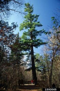 White Pines - Pinus strobus are a large growing evergreen with blue-green needles that are generally 2 inches long. The needles grow. White Pines, Sandy Soil, Forest Service, Biomes, Rocky Mountains, Evergreen, North America, Meet, Plants