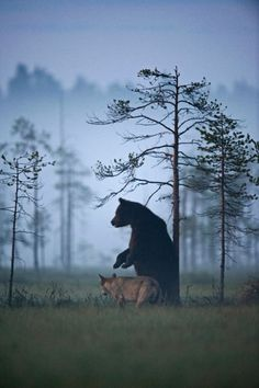 rare-animal-friendship-gray-wolf-brown-bear-lassi-rautiainen-finland-131-600x9021-600x902