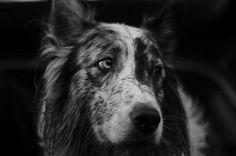 Black n white pic of australian shepherd