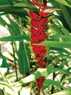 The exotic flowers and lush foliage of these beautiful plants can add drama to your garden in the growing season.