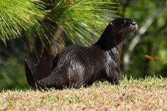 North American River Otter | Recent Photos The Commons Getty Collection Galleries World Map App ...