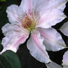 Buy Clematis Chantilly Vines Online. Garden Crossings Online Garden Center offers a large selection of Clematis Plants. Shop our Online Vine catalog today.