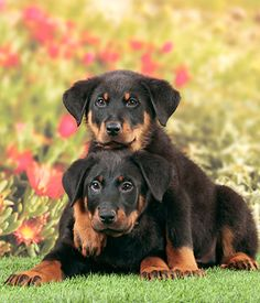 Beauceron breed info,Pictures,Characteristics,Hypoallergenic:No