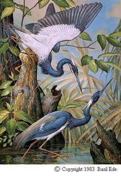 Louisiana Heron by Basil Ede Louisiana Art, Louisiana History, Birds Of America, Bird Artwork, Arte Pop, Blue Heron, Bird Prints, Botanical Prints, Chinoiserie
