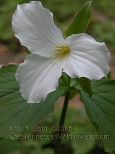 Trillium    Follow this link to look up flowers by colors and time of bloom.