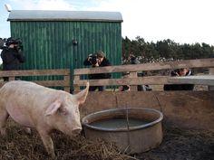Das berühmte Schwein 3