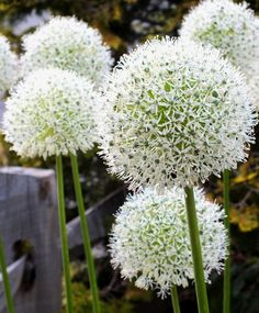 "Allium stipitatum White Giant--White Giant has 6"" to 8"", snow-white globes comprised of hundreds of little florets with dark green eyes. The foliage is quite spectacular, particularly for Allium. It stands upright and stays a beautiful dark green color until the flower blooms and dies."