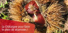 La châtaigne ou marron est un fruit d'automne. Elle possède tous les atouts nutritionnels des fruits : fibres, vitamines et minéraux.