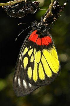 Newly-emerged Red-base Jezebel (Delias pasithoe, Pieridae) - Pu'er, Yunnan, China - Flickr - Photo Sharing!