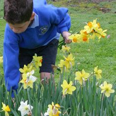 Boy picking daffodils - wedding flowers from florists are very expensive so for a budget wedding pick flowers from yours or friends gardens or buy in bulk just lots of spring flowers not arranged. Then make your own bouquets with them and ribbons and make your own decorations for tables etc and buttonholes.