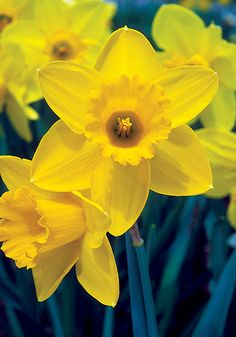 """Narcissus """"Saint Keverne"""" from Old House Gardens Heirloom Bulbs"""